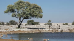 Kudu and springbok antelopes at a waterhole, Etosha National Park, Namibia Stock Footage