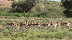 Springbok antelope herd in natural habitat, Kalahari, South Africa Stock Footage