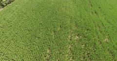 4K Aerial of a corn field on a farm, flying forwards, tilt up Stock Footage