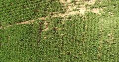 4K Aerial of a corn field on a farm, overhead, tilt up Stock Footage