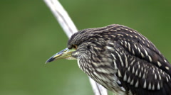 Young Night heron Stock Footage