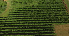 4K Aerial of a vineyard and firld of grapes, flying forwards, tilt up Stock Footage