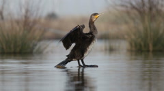 Cormorant dries its wings on the trunk Stock Footage
