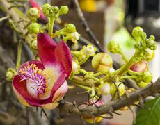 Cannonball tree flowers .Couroupita guianensis Stock Photos