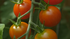 Cherry tomatoes growing in a suburban garden. Macro. Closeup. Stock Footage