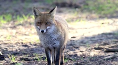 Fox in a forest in Italy Stock Footage