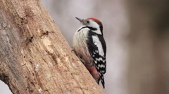 Spotted woodpecker Stock Footage