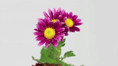 Water drops on chrysanthemum Stock Footage