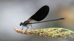 Damselfly in the pond Stock Footage