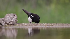 Magpie eating Stock Footage