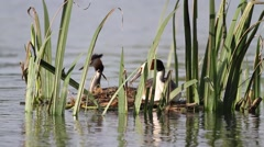 Great crested grebe Stock Footage