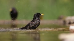 Starling cleaning Stock Footage