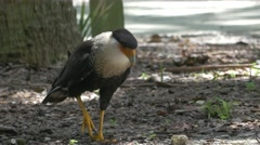 Crested Caracara Walks on the Ground Looking for Food, 4K Stock Footage