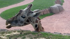 Medium Close Up of Giraffe's Face Chewing Stock Footage