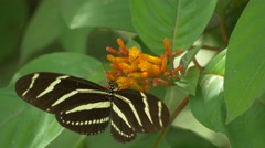 Two Zebra Longwing Butterflies Visit the Same Flower, 4K Stock Footage