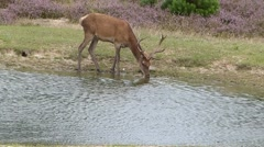 Deer Drinking from a River Stock Footage