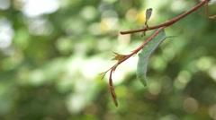 Green Hornworm Caterpillar Hanging from Vine, 4K Stock Footage
