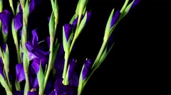 Cut Gladiolus Flowers Blooming Stock Footage