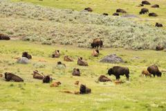 Buffalo Bison Herd Yellowstone National Park Wild Animal Kuvituskuvat