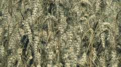 agriculture industry Wheat  field  Stock Footage