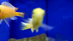 Moion of aquarium fish swimming in a freshwater fish tank Stock Footage