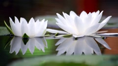 White water lily in a pond. Background Stock Footage