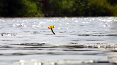 Yellow water lily in a pond. Background Stock Footage