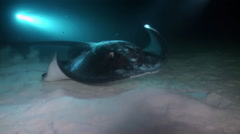 Black blotched stingray night hunting on reef. Stock Footage