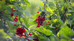 Fresh red currants on bush Stock Footage
