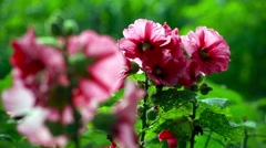 Bright Mallow flowers in garden Stock Footage