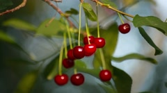 Red cherries hanging on a cherry tree branch in the sunny garden Stock Footage