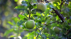 Green apples hanging on apple tree branch in the sunny garden Stock Footage