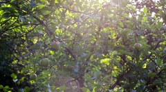 Green apples hanging on a apple tree branch in the sunny garden Stock Footage