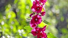 Bright Mallow flowers in garden Stock Footage