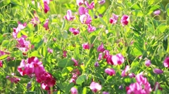 Closeup View of Sweet Pea Flowers in Sun Stock Footage