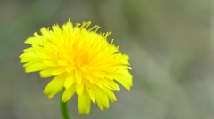 Bee alighting on dandelion and collecting pollen Stock Footage