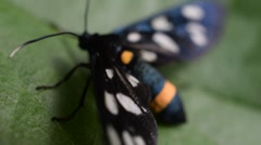 Nine spotted moth on green leaf Stock Footage