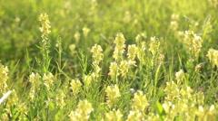 Linaria vulgaris. Wildflowers in country field. Stock Footage