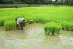 thai farmer and green rice paddy plant in agriculture planting field - stock photo