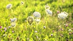 Wildflowers in summer sunnyday Stock Footage