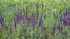 Many wild purple sage flowers in a meadow with bees collecting nectar or pollen Stock Footage