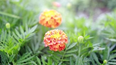 Marigold flower close up. Nature background Stock Footage