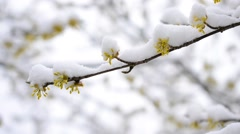 Snow falling on cornealian cherry flowers Stock Footage