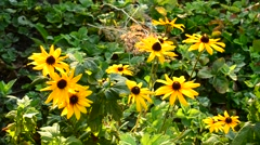 Many rudbeckia flowers in a garden Stock Footage