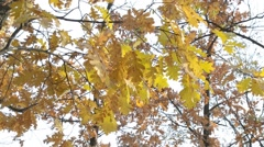 Quercus robur. Branches with yellow foliage of English oak Stock Footage
