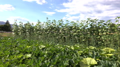 Green home garden tilt to vegetable leaf 4K Stock Footage
