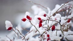 Wild rose bush with berries; snow, frost. Christmas background footage Stock Footage
