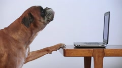 Boxer Dog Working On Laptop Stock Footage