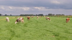 Red and white cows in a grassy field on a bright and sunny day Arkistovideo