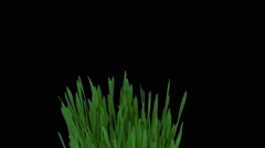 Growing and rotating barley sprouts in RGB + ALPHA matte format Stock Footage